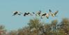 Sandhill, Crane (Wind4ever) Tags: cranes saltonsea