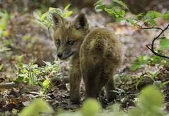 Will I see you again? (Ania Tuzel Photography) Tags: forest wild newjersey kit greatswamp babyfox redfox young