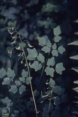Western Corydalis scouleri. Coast Redwood Grove (Mary Gillham Archive Project) Tags: 1987 87329 california coastredwood flower planttree usa westerncorydalisscouleri