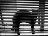 9 feb 2018 - photo a day (slava eremin) Tags: cat blinds stripes blackandwhite bw monochrome 365 photoaday dailyphoto