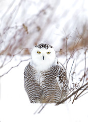 Snowy owl8 (Jim Cumming) Tags: snowyowl nature wildife canada snow winter owl cold