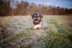6/52 - Frosty Mornings. (Kirstyxo) Tags: teddy cute dog action running fun frosty 652 52weeksfordogs 52weeksfordogs2018 52weeksfordogs18