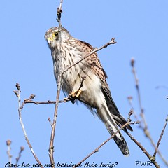 Can he see me behind this twig (Paul Wrights Reserved) Tags: kestrel perched perching beautiful beak beauty bird birding birds birdphotography birdwatching birdofprey