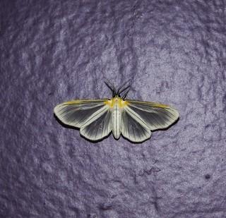 Hyalurga cf. fenestrata - Hyalurga Tiger Moth (Walker, 1855)