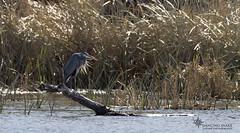 """_45A6963 """"Heron Glow"""" ©Dancing Snake Nature Photography (Dancing Snake Nature Photography) Tags: arizona nature photography dancingsnakenaturephotography greatblueheron patagonialake"""