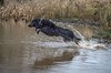 Super Jack (Chris Willis 10) Tags: dogssnowcalliejack dog water outdoors animal pets retrieving running playing jumping nature fun playful wet action canine river blackcolor splashing winter snow