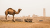 IMG_4925.JPG (esintu) Tags: harran camel desert motorbike