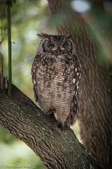 Spotted Eagle Owl/ Fläckuv ( Bubo africanus) (Hans Olofsson) Tags: africa bird botanicalgarden buboafricanus fåglar kirstenboch natur nature spottedeagleowl sydafrika westerncape