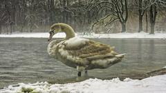 Young Swan (Renate Bomm) Tags: fauna tiere schwan sonyilce6000 7dwf samyangaf35mmf28 renatebomm jungerschwan swan young cold winter see park decksteinerweiher sliderssunday hss processed postprocessed schwimmvogel youngswan happy animals