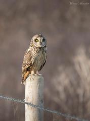 Short Eared Owl restiing, Dorset, UK (conrad_hanchett) Tags: owl shortearedowl dorset february nikon d500 sigma naturephotography asioflammeus seo