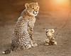 Truce (Penny Hyde) Tags: babyanimal bigcat cheetah cheetahcub cub sandiegozoo