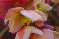 First Flower Colours (Dave Roberts3) Tags: pink yellow hellebore newport gwent wales park bellevue naturethroughthelens citrit