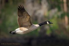 Canada Goose (Kevin James54) Tags: canadageese canadagoose greenfieldlake nikond850 tamron150600mm wilmington animals avian bird brantacanadensis kevingianniniphotocom