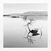 Growing Pains (richieJ 11) Tags: lochlomond scotland saplings water reflections highkey mono blackandwhite longexposure