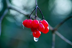 Berry Droplet (gemmahampton) Tags: berries berry water moist droplet