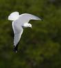 Ring-billed Gull. (mandokid1) Tags: canon ef400mmdoii 1dx birds gulls