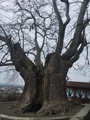 900 Year Old Plane Tree in Telavi, Georgia (SleepSerum114) Tags: landmark history photography travel huge gargantuantree hugetree ancient veryold old oldtree planetree tree telavi kakheti georgia