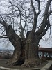 900 Year Old Plane Tree in Telavi, Georgia (SleepSerum114) Tags: landmark history photography travel huge gargantuantree hugetree ancient veryold old oldtree planetree tree telavi kakheti georgia