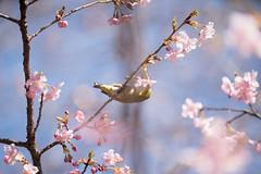 _DSC0823.jpg (plasticskin2001) Tags: mejiro sakura flower bird