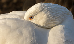 Domestic Goose (Anser anser) (Don Dunning) Tags: animals birds california canon100400mm canon7dmarkii domesticgoose goose lakeshorepark newark unitedstates