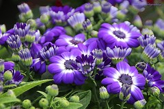 Senetti plants and flowers, the very early spring flowers. (jackfre 2) Tags: belgium edegem flowers plants senetti colours magic earlyspring