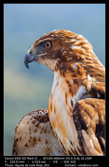 Eagle of red tail (Buteo jamaicensis) (__Viledevil__) Tags: animal beak bird birds eagle eye eyes falcon feather feathers fierce flight fly hunt hunter majestic nature portrait predator prey raptor red tail talon wild wildlife