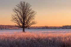 not summer morning (Christian Collins) Tags: canoneos5dmarkiv ef100400mmf4556lisiiusm frosty morning field campo lonetree rime weeds michigan midland mi january winter invierno enero snow snowy surise amenacer