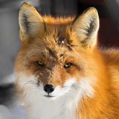 Foxy Posing for a Portrait (kdee64) Tags: redfox vulpesvulpes winter whitehorse portrait downtown mischievous yukon northerncanada