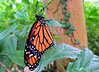 Monarque (jean-daniel david) Tags: papillon monarque nature orange vert feuille feuillage arbre bokeh closeup insecte insectevolant noir