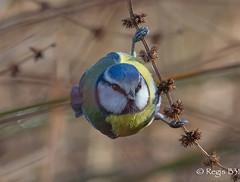 Une acrobate presque anonyme... (Régis B 31) Tags: cyanistescaeruleus eurasianbluetit mésangebleue paridés passériformes ariège bird domainedesoiseaux mazères oiseau
