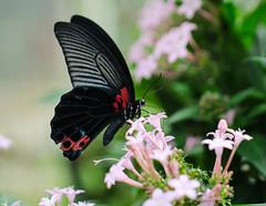 Butterfly (LuckyMeyer) Tags: schmetterling butterfly insect red black green flower fleur makro botanical garden