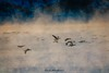 Foggy Flight (kmac1960) Tags: fog geese nature flight textured kellymcgregorphotogrphy wildlife