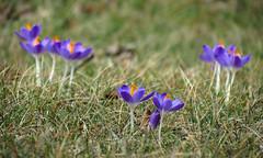 Purple Crocus (BlueRidgeKitties) Tags: canonpowershotsx40hs crocustommasinianus snowcrocus iridaceae
