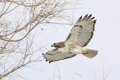 red-tailed hawk (material guy) Tags: redtailedhawk menotomybirding dunbackmeadow lexington massachusetts
