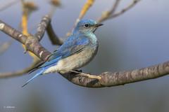 Mountain Bluebird / Merlebleu azuré (shimmer5641) Tags: sialiacurrucoides mountainbluebird mountainbluebirdmale merlebleuazuré thrushesfamily britishcolumbiacanada birdsofbritishcolumbia birdsofnorthamerica
