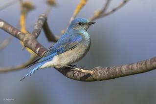 Mountain Bluebird / Merlebleu azuré
