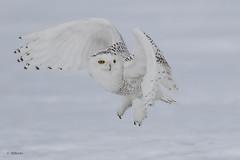 Snowy Owl / Harfang des neiges (shimmer5641) Tags: buboscandiacus snowyowl harfangdesneiges birdsofbritishcolumbia birdsofquébec birdsofnorthamerica birdsofthearctic raptor birdofprey