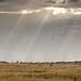 Blades of light on Serengeti
