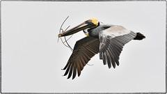 Brown Pelican (RKop) Tags: alafiabnaks raphaelkopanphotography florida nikon d500 200500nikkorzoom wildlife