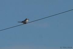 20180127-IMG_1864 (tdg734) Tags: abalist birds campbellst huroncounty michigan northernshrike shrikes unitedstates