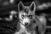 Camp Augusta (Thomas Hawk) Tags: california campaugusta husky nevadacity camp dog puppy summercamp fav10 fav25