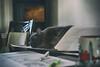 Sleeping on the Job (flashfix) Tags: january262018 2018inphotos ottawa ontario canada nikond7100 40mm nikon flashfix flashfixphotography nebelung ragdoll ragamuffin cat feline whiskers ears nap sleeping naptime table work spreadsheets pen highlighter paperblanket coffeemug youareherecollection starbucks
