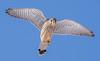 Male Kestrel (Wouter's Wildlife Photography) Tags: kestrel commonkestrel falcotinnunculus bird birdsofprey animal nature naturephotography wildlife wildlifephotography billund cold raptor