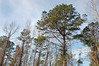 Clouds Roll In Behind The Trees. (dccradio) Tags: lumberton nc northcarolina robesoncounty outdoors outside nikon d40 dslr nature natural tree trees greenery landscape treeline evergreen pine sky bluesky clouds