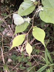 Unidentified shrub with white flowers a3 (SierraSunrise) Tags: animals butterflies butterfly flowers insects lepidoptera nongkhai phonphisai plants shrubs thailand white