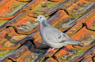 JWL1042  Stock Dove..