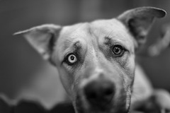 Interpret this look.... (Boomingecho) Tags: shelter dog blueeye adopt dontshop spay neuter canine quizzical littledoglaughednoiret