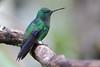 Amazilia saucerrottei (Wildlife and nature - Colombia) Tags: amaziliasaucerrottei steelyventedhummingbird hummingbird colibrí colibríamazilia coliazul alexpareja alejandroparejacardona