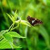 Break Time (Portraying Life, LLC) Tags: dbg6 da3004 hd14tc k1 michigan pentax unitedstates butterfly closecrop handheld nativelighting skipper bush briar meadow