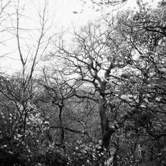 Udsigt gennem træer -  Greenwich Park (LarsHolte) Tags: zeiss ikon ikonta 52316 novaranastigmat 75mm f45 folding camera fpp film analog analogue blackandwhite classicblackwhite classic vintage rollei rolleiretro 400s rolleiretro400s larsholte homeprocessing filmforever filmphotography 6x6 square squareformat mediumformat bw xtol 120 120film ishootfilm monochrome london uk greatbritain greenwich park trees